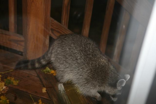 Raccoon 2 (1)