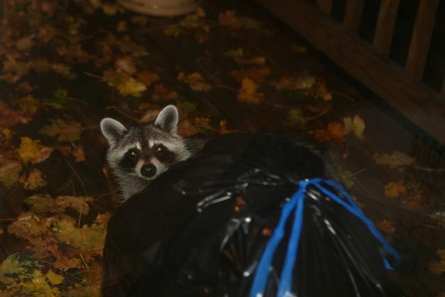 Raccoon 1 (1)