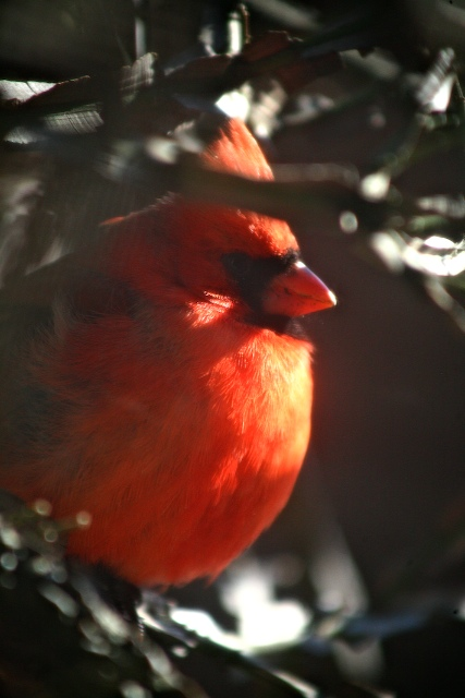 Cardinal (1)