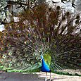 Free-Range Peacock