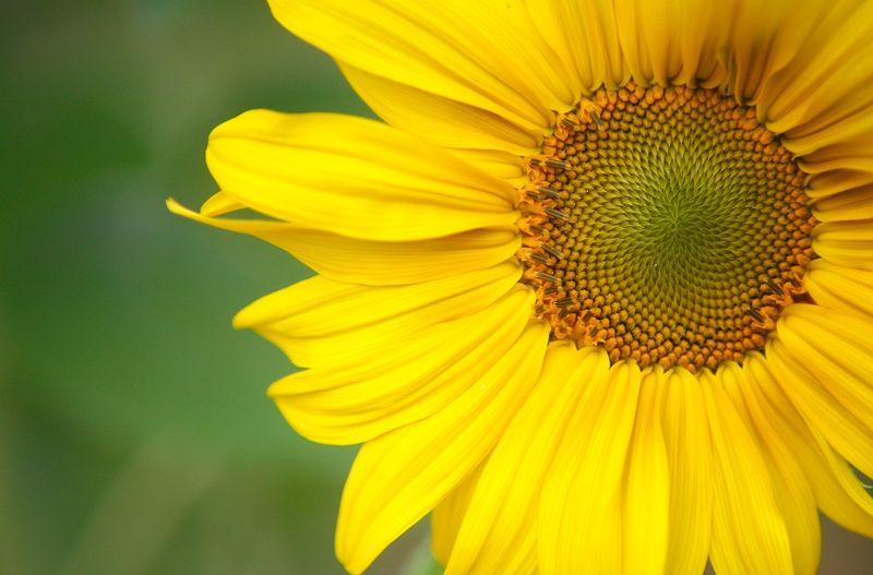 Beesunflower (1)