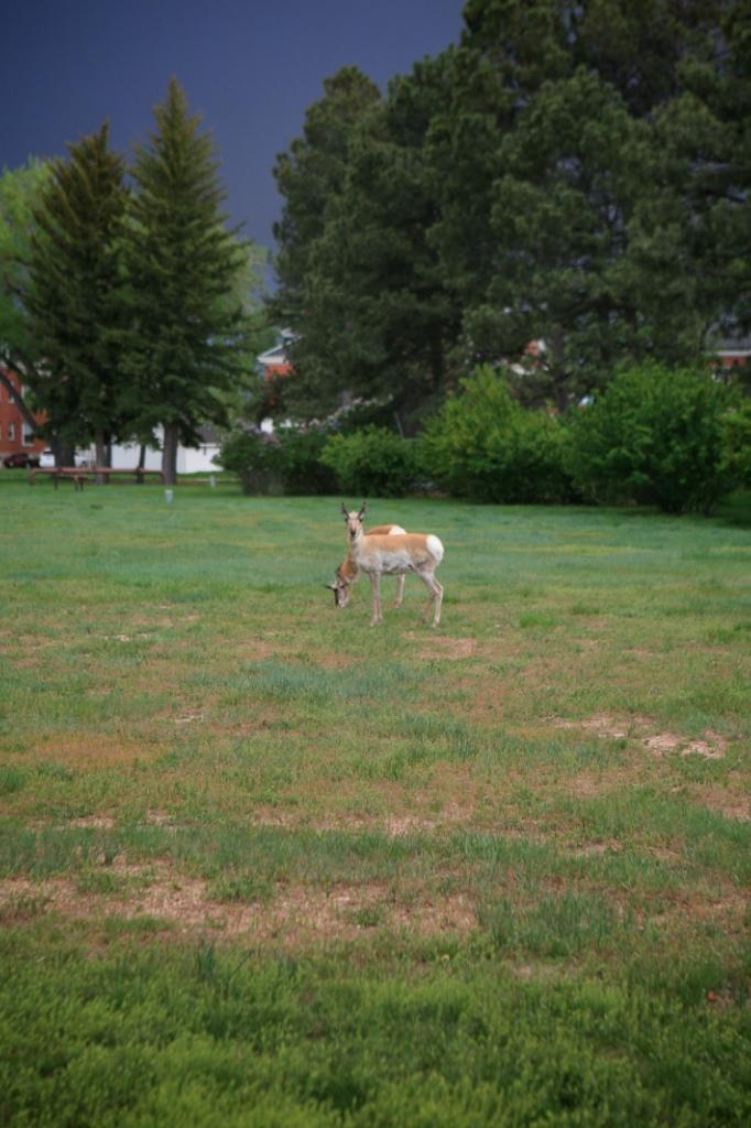 Antelope (2)