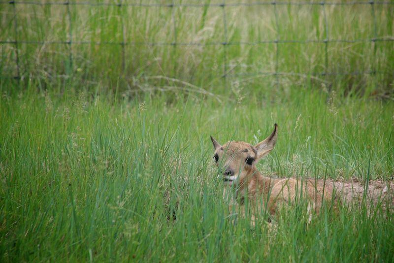 Antelopebabies (1)