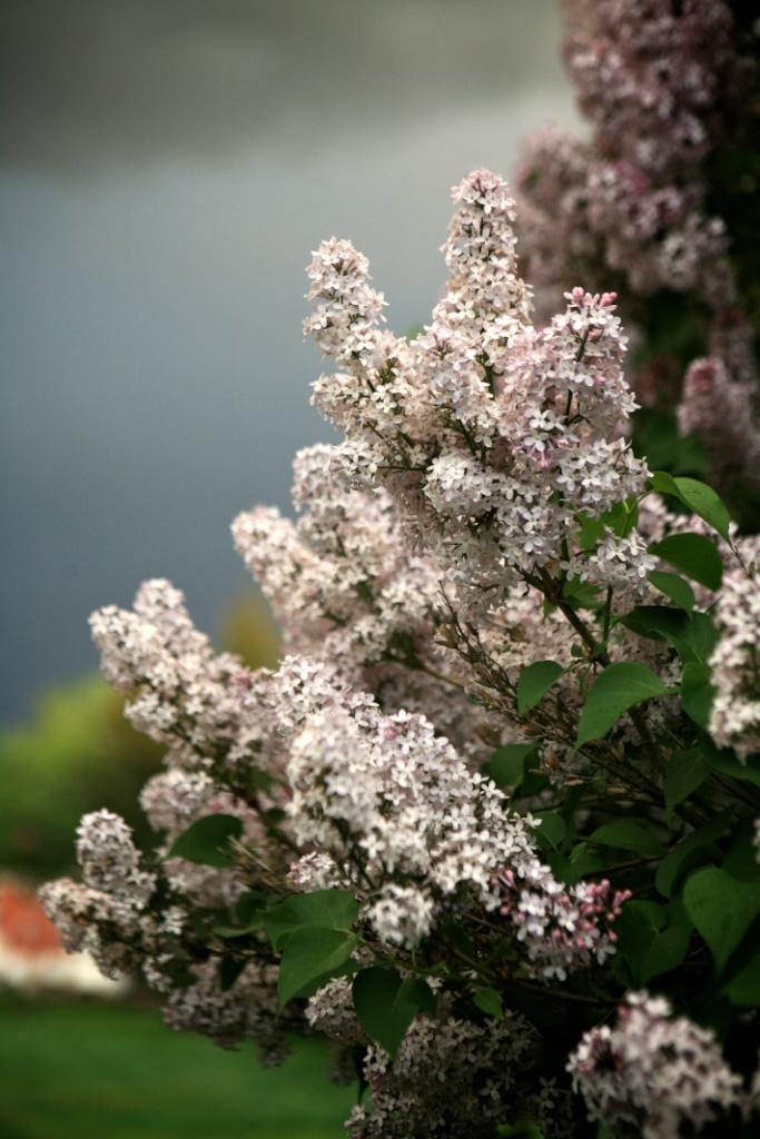 Lilacsandclouds