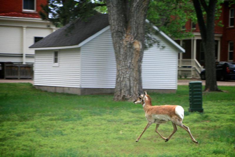 Antelope (1)