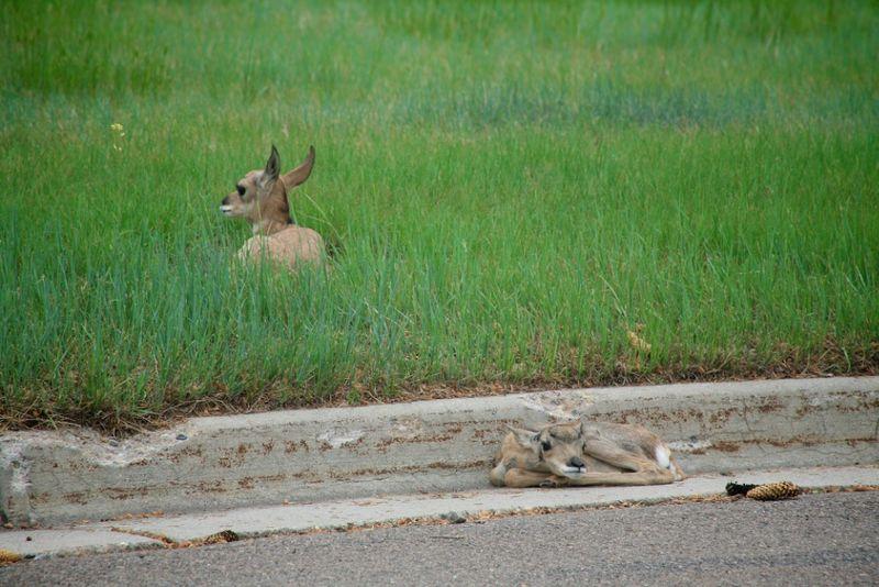 Antelopebabies