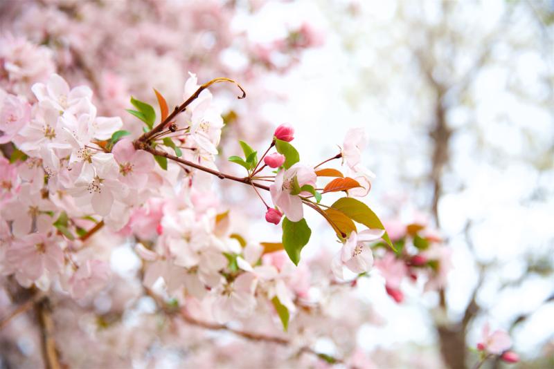 Denver spring blossoms