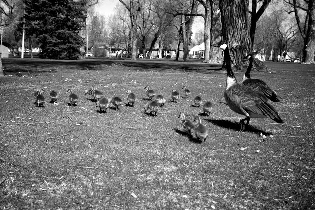 Eighteen Goslings | 5.17.10