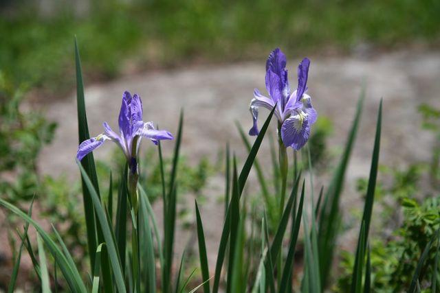 Wild Irises?