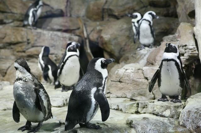 Penguins_1_1